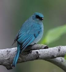 Verditer Blue Oriental Bird Club Image Database Verditer Flycatcher Eumyias