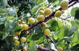 Fruit Tree Identification - forum help apricot tree identification