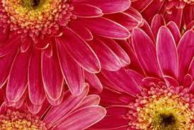 gerbera daisies the best soil for gerber daisies home guides sf gate