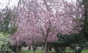 trees blooming in february picture of mckinley park sacramento