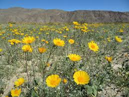 Flowers Anza Borrego Don U0027t Go To Death Valley Looking For A U0027super Bloom U0027 Popular Science