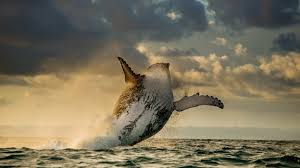 a humpback whale breaching full hd wallpaper and background
