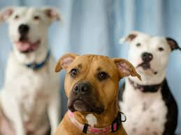 rent a pit this florida landlord will only rent to large dog owners and pit