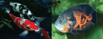 review of grey listed non ornamental fish species