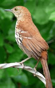 the official state bird of georgia thrasher family association