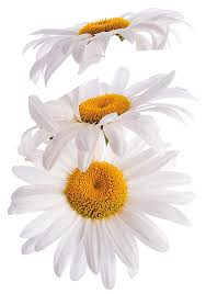 crearreda cr 44003 super daisy wall decals wall decor stickers