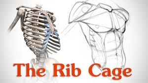 anatomy of the rib cage for artists