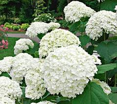 hydrangea white snowball hydrangeas white flower farm