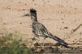 Arizona wildlife images Roadrunners of se arizona jpg