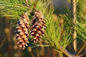 Cone Tree Free Photo Pine Cones Pine Tree Pine Tree Free Image On