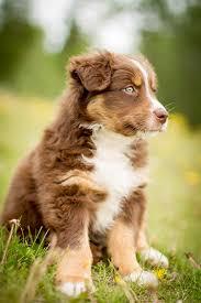 australian shepherd puppy red tricolor australian shepherd puppy aussie dogs pinterest