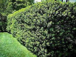 Teh Tehan tanaman yang berfungsi sebagai pagar