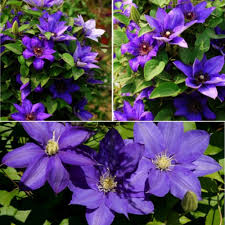 compare prices on climbing plants seeds online shopping buy low