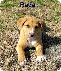 australian shepherd catahoula mix radar jj adopted puppy ca bf s roundup mt catahoula