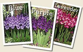 nagel u0027s glads online gladiolus catalog wholesale flower bulb
