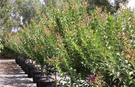 hedging plants budget wholesale nursery wholesale nursery in melbourne