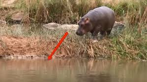 si e social hippopotamus la piccola fiona si gode un massaggio e impara a nuotare baby