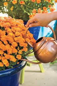 beginner u0027s guide to chrysanthemums southern living
