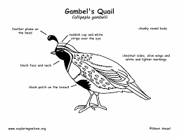 quail gambel u0027s