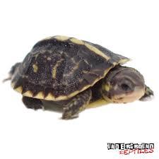 baby ornate x florida box turtles for sale underground reptiles
