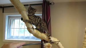 Large Cat Scratching Post Extra Large Cat Tree Plan Build Extra Large Cat Tree