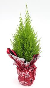 cupressus macrocarpa goldcrest miniature christmas tree
