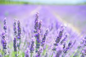 purple lilac free images nature floral aroma green herb crop botany
