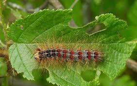 identifying gypsy moth and impostors