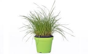 erba cipollina in vaso pianta di erba gatta lolium in vaso 14 savini vivai di savini