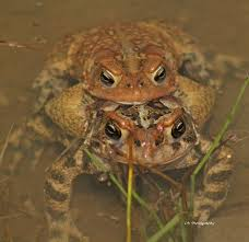 How To Get Rid Of Cane Toads In Backyard 23 Best Toads Images On Pinterest Amphibians Frogs And Lizards