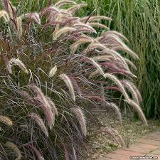 purple grass pennisetum rubrum american