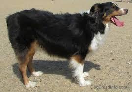 pictures of australian shepherds australian shepherd dog breed pictures 1