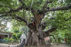 parijat in barabanki the tree from heaven is the only of its