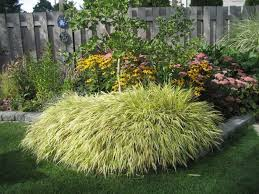 ornamental japanese forest grass in your outdoor yard wearefound