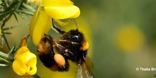 bbc earth spring sees u0027big bumblebee buzz u0027