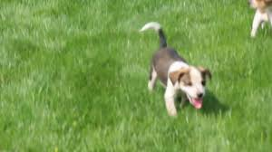 bluetick coonhound sale blue tick coonhound mix puppies for sale youtube