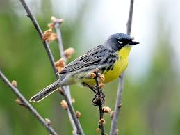 kirtland u0027s warbler bird watcher u0027s digest