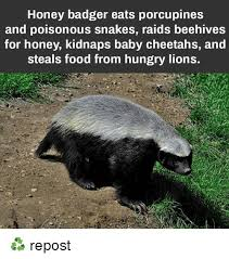 Honey Badger Meme - honey badger eats porcupines and poisonous snakes raids beehives for