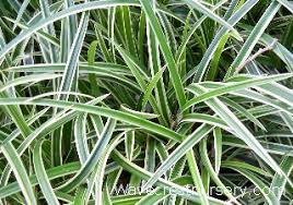 wavecrest nursery ornamental grasses catalog