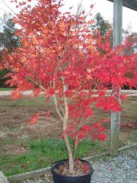 Home Landscaping Ideas by Outdoor U0026 Garden Beautiful Coral Bark Maple For Garden Decoration