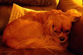 little orange dog 2016