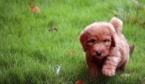 goldendoodle puppy virginia best goldendoodles bestgoldendoodles goldendoodle and mini