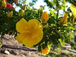 flowering desert yellow desert flower stock by enchantedgal