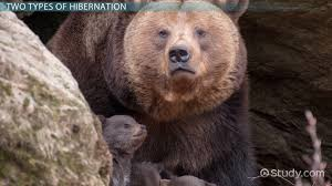 what is hibernation definition u0026 facts video u0026 lesson