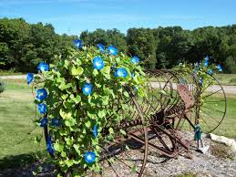 an old hay rake with morning glories in my front yard last summer