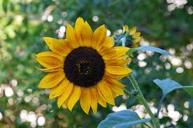how to harvest sunflower seeds for planting roasting and feeding