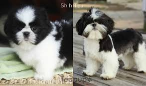 shih tzu with curly hair available puppies