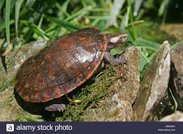 Texas Map Turtle Red Bellied Turtle Stock Photos U0026 Red Bellied Turtle Stock Images