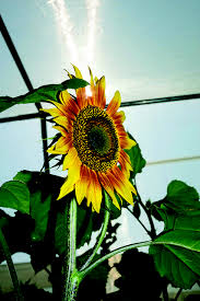 meet the scientists and saving sunflower seeds