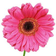 gerbera daisies gerbera daisies hot pink 80 stems sam s club